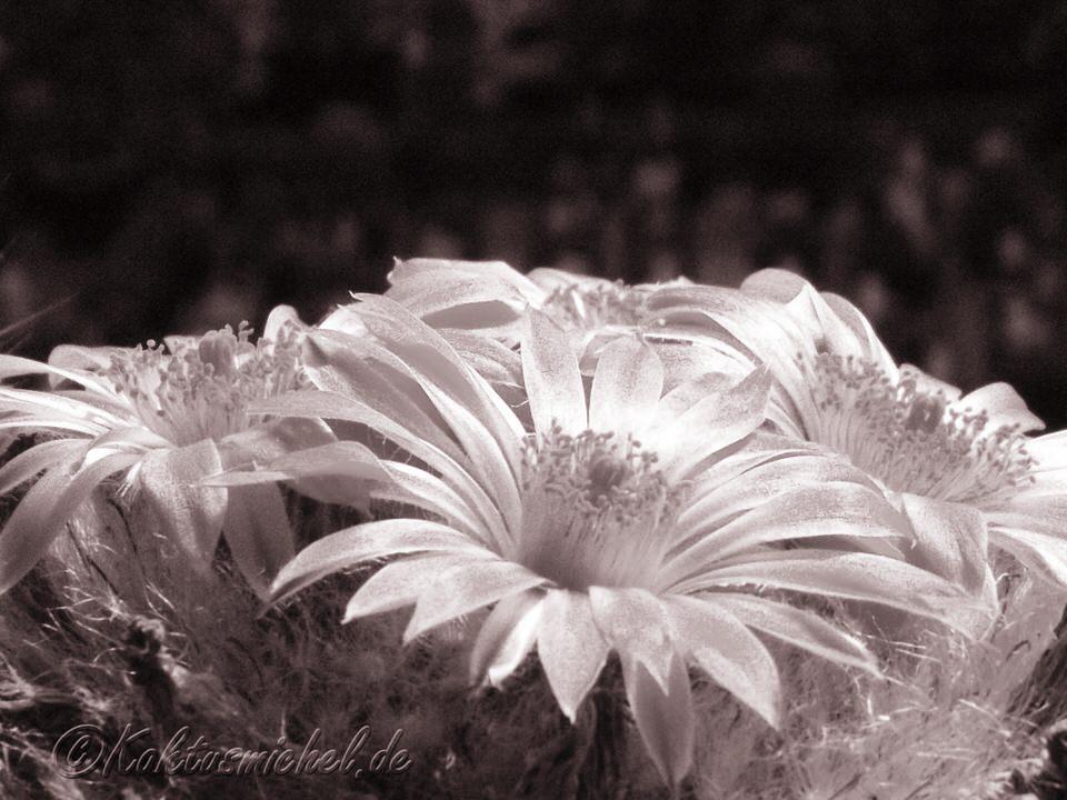 Mammillaria guelzowiana ©Kaktusmichel.de