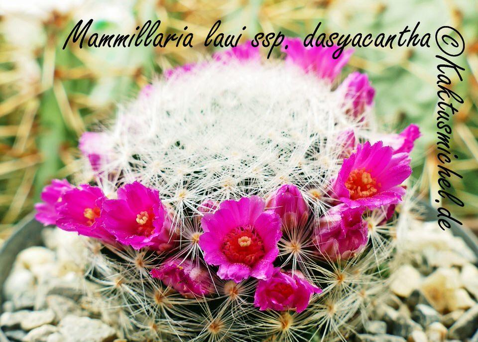 Mammillaria laui ssp. dasyacantha