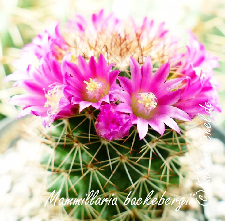 Mammillaria backebergii_edited_2