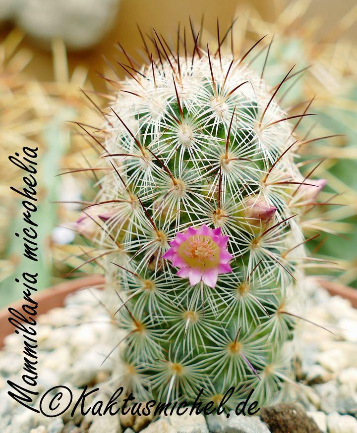 Mammillaria microhelia_edited
