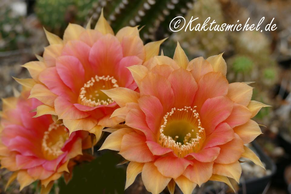 Echinopsis Hybride©KAKTUSMICHEL.DE