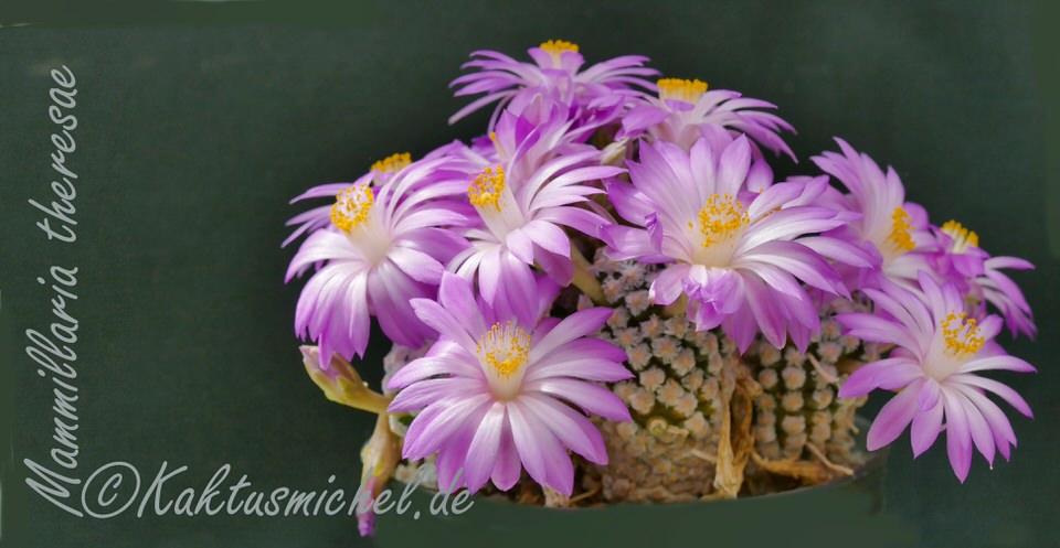 Mammillaria theresae©KAKTUSMICHEL.de