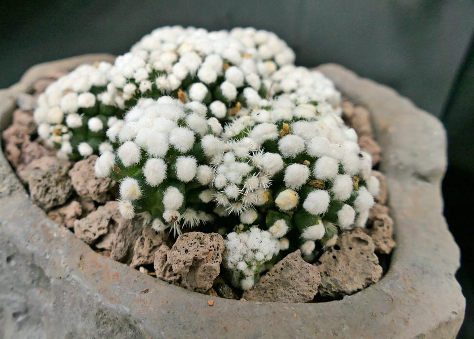 """Mammillaria veluta ssp. gracilis """"Oruga blanca"""""""