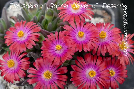 Delosperma Garnet Jewel of Desert