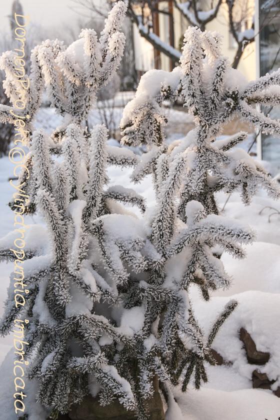 DornenProjekt©Cylindropuntia imbricata im Schnee