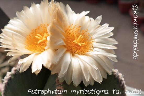 astrophytum-myriostigma-v-nudal_edited