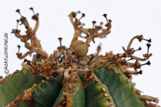 Euphorbia valida weiblich mit reifer Frucht©Kaktusmichel.de