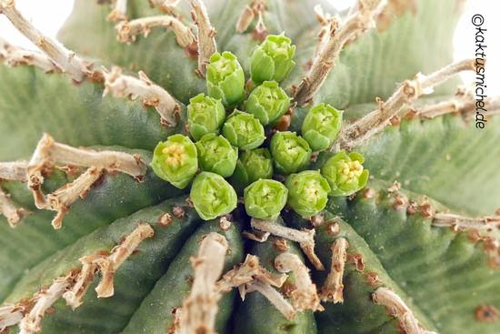 Euphorbia valida männliche Pflanze©Kaktusmichel.de