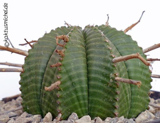 Euphorbia valida Jungpflanze©Kaktusmichel.de