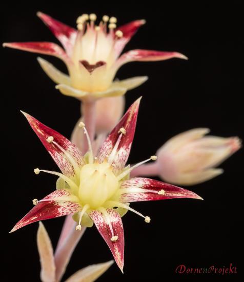 Bluete von Graptopetalum macdougallii