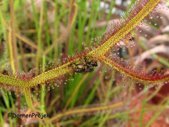 Drosera binata mit Fliege