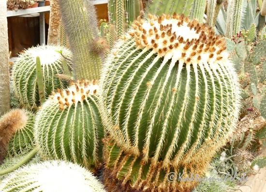 Warum blüht mein kaktus nicht? Der hier abgebildete Echinocactus grusonii blüht das erste mal mit 40 - 50 Jahren.