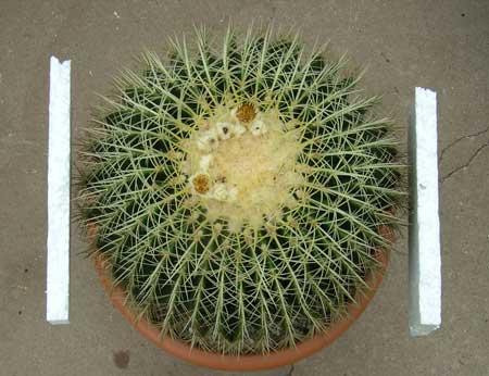 Echinocactus grusonii ©DornenProjekt