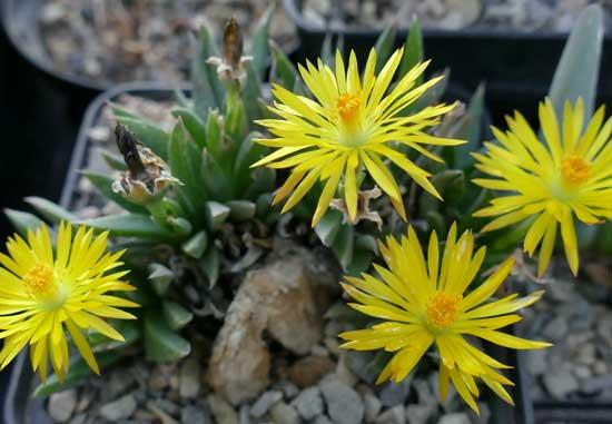 KAKTUSNEWS Der Blog vom Kaktusmichel ~ 23202556_Sukkulenten Im Winter Umtopfen