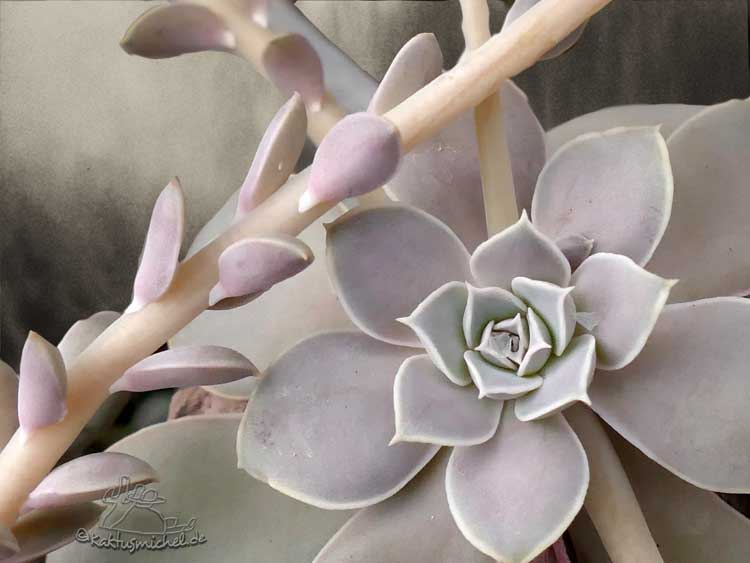 Echeveria diffractens Blattrosette und der mit Brakteen besetzte Blütenstängel©Kaktusmichel.de
