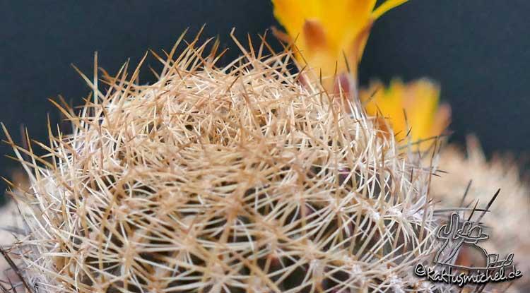 Sulcorebutia breviflora var. haseltonii mit derben Dornen©Kaktusmichel.de