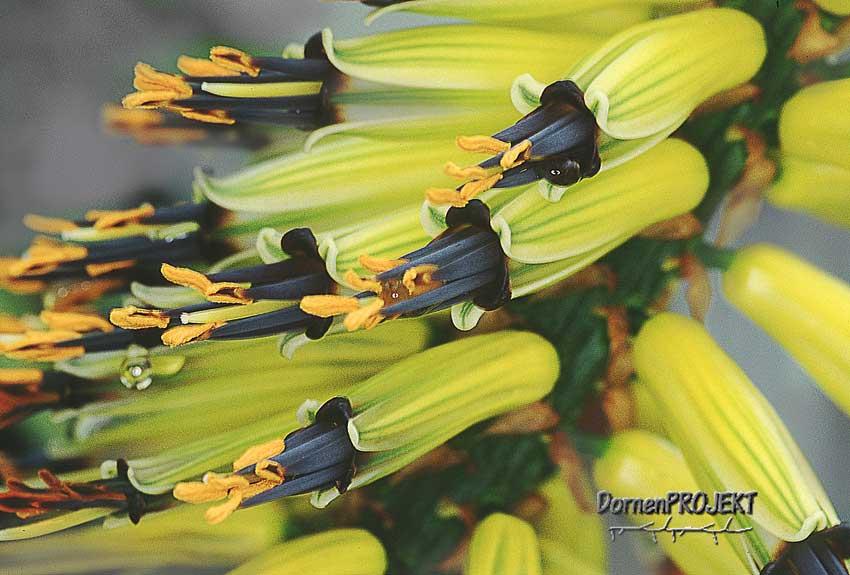 Die Blüten von Aloe marlothii©Dornenprojekt.de
