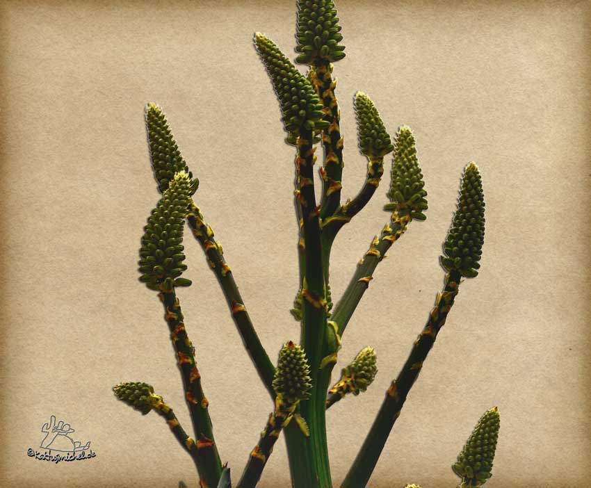 Knospenstand an Aloe marlothii©Kaktusmichel.de