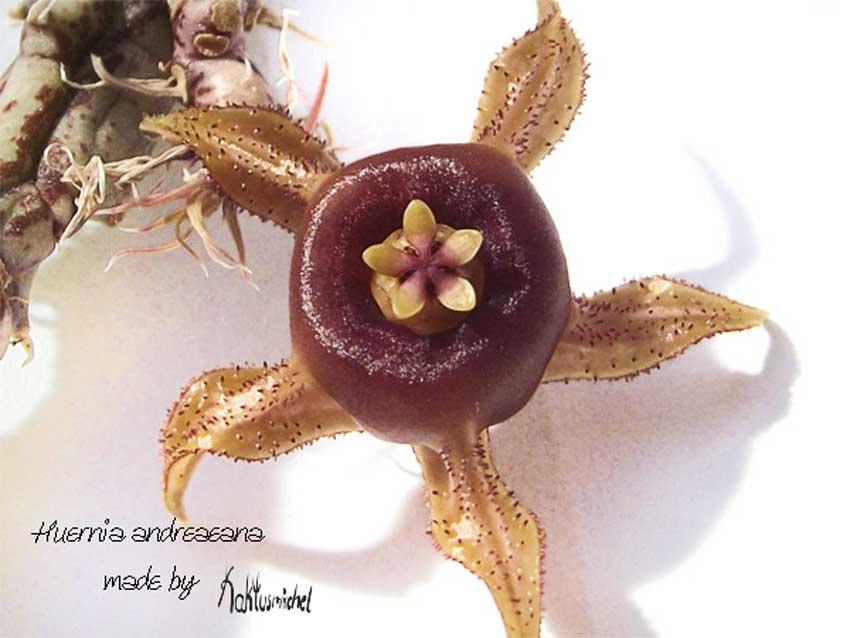 Huernia andreaeana©Kaktusmichel.de