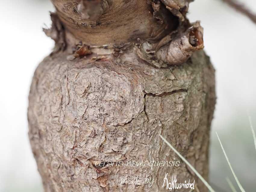 Der knorrige Stamm eine Ceraria namaquensis©Kaktusmichel.de