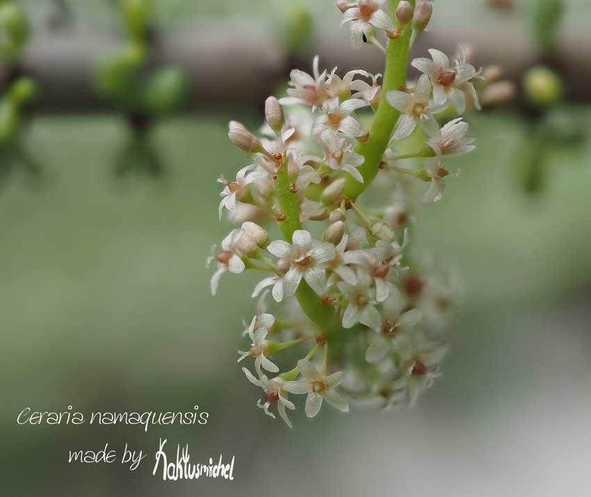 Die kleinen Blüten von Ceraria namaquensis©Kaktusmichel.de